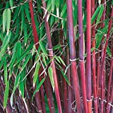 1 x Fargesia Asian Wonder 40-45cm (Bambus) C2 TOP SORTE FÜR HECKE