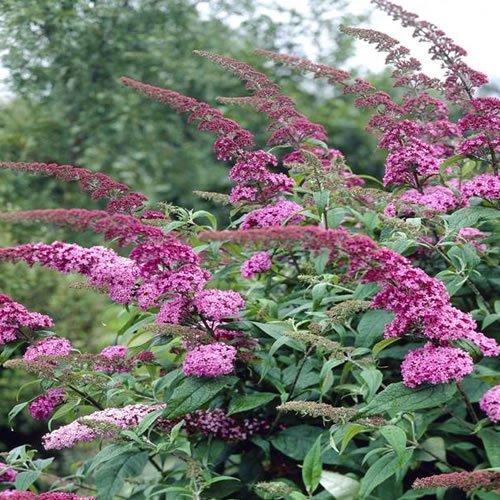 1x Sommerflieder 'Pink Delight' Schmetterling Bush Laubabwerfende Strauch Garten in Topf,