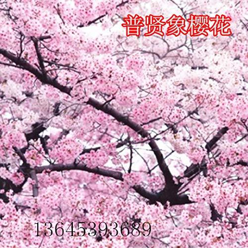 promworld Plantes ornementales,mélange Fleurs graines,Graines de Fleurs de Cerisier Graines de Fleurs Balcon Graines de Fleurs de Jardin-T_5pcs
