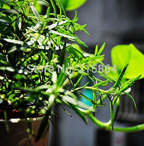 50 impressionnants Cider Gum Eucalyptus Graines de Herb gunnii Eucalyptus, belle couleur