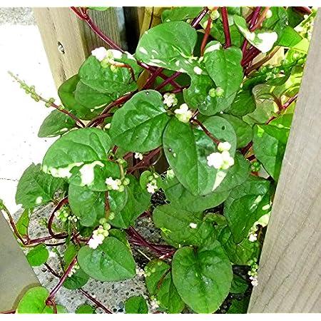 80pcs Semillas de calabaza amarga Verduras de reliquia anual Bajo costo F/ácil de mantener Patio Jard/ín Terraza Plantaci/ón Trae una sensaci/ón de logro