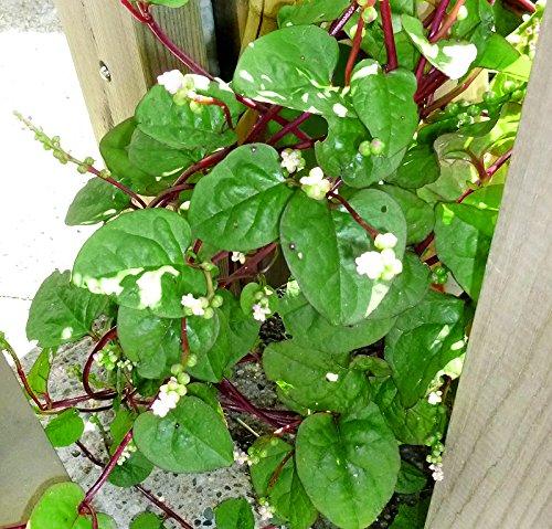 30+ Malabar Red Stem Spinach Seeds Herb Heirloom Non-GMO Phooi Leaf, Red Vine,...