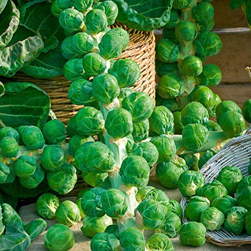 Sharpy 200 Pcs Rosenkohl Samen Long Island Verbesserte, Gemüsesamen Garten
