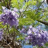 Jacaranda mimosofolia - Palisanderbaum - 200 Samen-