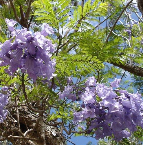 Jacaranda mimosofolia - Palisanderbaum - 50 Samen-