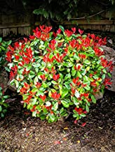 Redtip Fraser's Photinia - Live Plant in a 6 Inch Pot - Photinia Fraseri - Fast Growing Evergreen Shrub