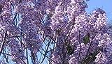 Asklepios-seeds® - 20000 Semillas de Paulownia elongata Paulownia elongata