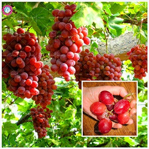 100 pcs/sac de raisin rouge japonais délicieux fruit avancé croissant naturel arbre nain pour la maison jardin plantes