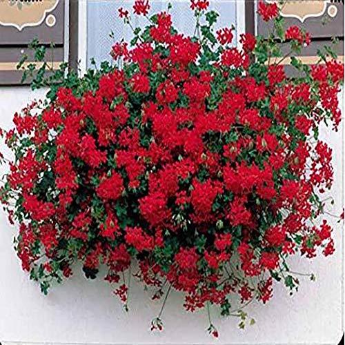 Ultrey Samenshop - seltene hängen Geranie Samen Riesen Pelargonien Balkonblumen Samen Bonsai Topfpflanze Blütenmeer für Garten Balkon/Terrasse