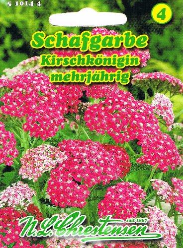 Schafgarbe Kirschkönigin rot mehrjährig 'Achillea millefolium' Schmuck- und Schnittstaude
