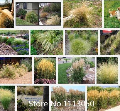 Promotion 100 graines / paquet, mexicaine Semences de gazon Feather - Stipa tenuissima - Aussi appelé Herbe Thread Silky ou mexicain aiguille G