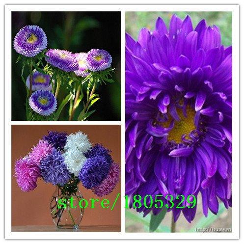 graines AAA vrai Aster belle graines callistephus chinensis chrysanthème fleurs graines variété complète -100 pcs