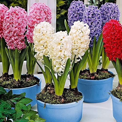 12x Hyacinthus orientalis | 12er Mix Hyazinthen Zwiebeln präpariert | Blumenzwiebeln Frühblüher Ø 16-17cm
