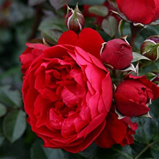 1 Potted Own Root of Florentina Arborose Climbing Rose, Bush Double Red Flowers