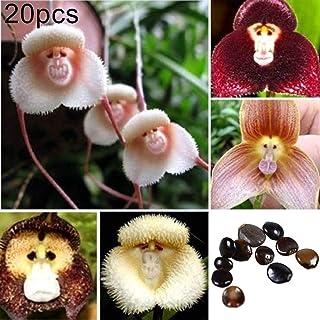 Sytaun 20 Unids Adorable Rara Cara De Mono Orquídea Semillas Jardín Planta Flor Bonsai Decoración Fácil De Plantar, Planta Ornamental Semillas de orquídeas cara de mono