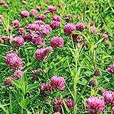 graines de trèfle rouge, trèfle des prés, trifolium pratense...