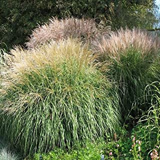 Outsidepride Miscanthus Grass - 500 Seeds