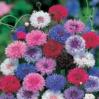 250 Cornflower/Bachelor Button Seeds Dwarf Mix Centaurea Cyanus #DS02