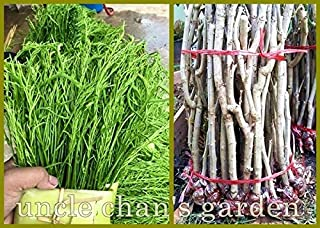 SOPHISTICATE Organic Seeds: 4x12†Cutting with Root CHA-OM Acacia SENEGALIA PENNATA Fresh Thai Miracle C250