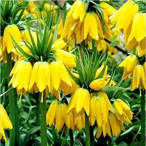 50 semi gialli Imperial Crown Semi Lutea Semi facile da coltivare piante