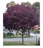 10 Cherry Plum Seeds Prunus Cerasifera Fragrant Ornamental Tree