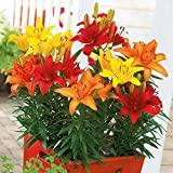 12 Asiatic Lily Mix(Bulb/Root/Plant),Dependable perennials