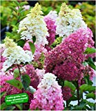 BALDUR-Garten Freiland-Hortensie Fraise Melba®, 1 Pflanze Hydrangea winterhart