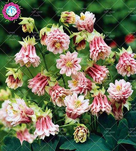 100PCS Double Aquilegia (Columbine) Graines rares Bonsai Graines de fleurs longue saison Bloom plantes vivaces pour jardin 7