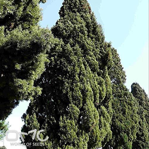 VISA STORE (500 Seeds) Mittelmeer-Zypresse/Itian