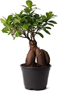 Best bonsai tree ficus microcarpa Reviews