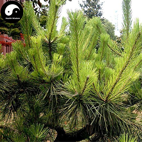 Comprar semillas de Pinus massoniana árbol 200pcs Planta Mason pino pinaster Árbol de China