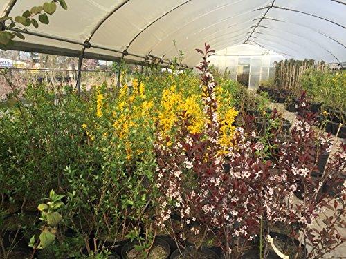Echte Felsenbirne 40-60 cm Strauch für Sonne-Halbschatten Heckenpflanze grünes Laub Gartenpflanze winterhart 1 Pflanze im Topf - 2