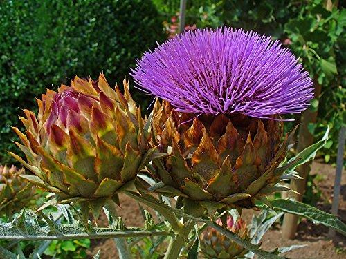 SAFLAX - Set regalo - Alcachofa silvestre - 50 semillas - Cynara cardunculus