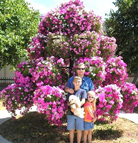 200 Graines Petunia Hanging rares semences de plantes ornementales Graines de fleurs Black Eye fleur pourpre avec bord blanc jardin Plantes jaune