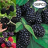 Uticon Semilla De Plantas Perennes Frambuesa Fruta 100pcs Blackberry Negro Jard¨ªN Patio Decoraci¨N - 100pcs Blackberry Semillas #