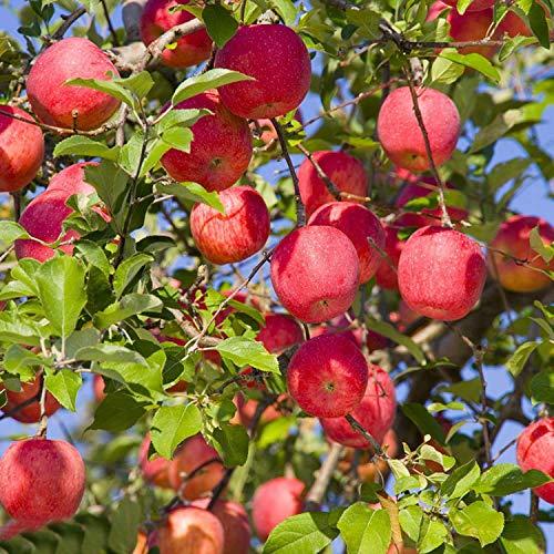 Cioler Apfelbaum Samen Fruchtsamen Rate Red Delicious Apple Samen Apfel Samen Garten Qualität High Bud Winterhart