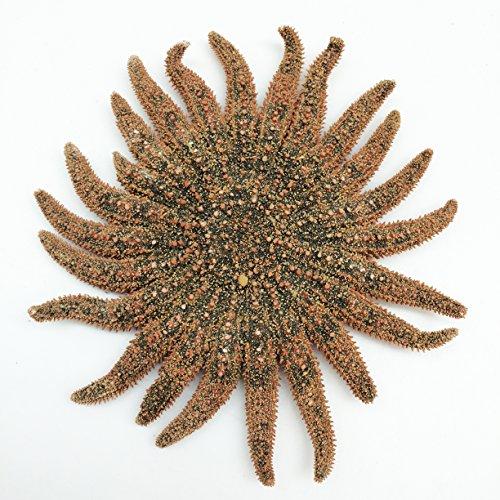 PEPPERLONELY Sunflower Starfish Sea Shells, 4 Inch ~ 6 Inch