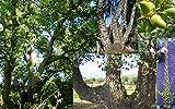 Portal Cool Quercus suber Oak quercia da sughero Cork Oak Tree Bonsai della pianta Vq 9X9X20Cm