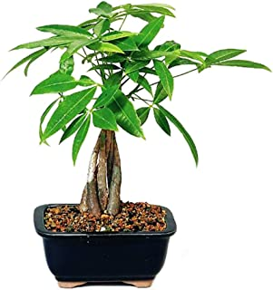 Best bonsai guava tree online Reviews
