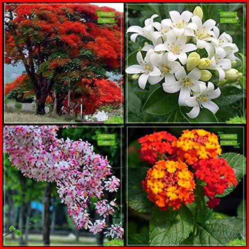 BloomGreen Co. Natural Air Cleansing Plantes Graines Graines: Combo arbre Delonix Regia, Murrayya Exotica, Fleur de pommier, Lantana arbre Graines Cuisine Paquet Jardin