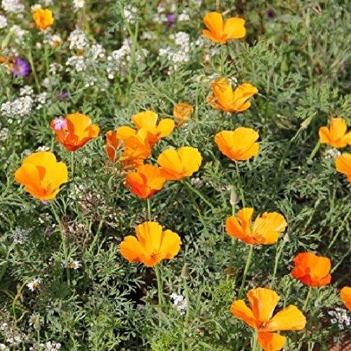 Eschcholtzia de Californie varié 200 graines