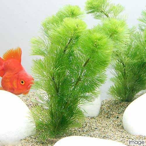 (水草)メダカ・金魚藻 ライフマルチ(茶) カボンバ(3個) 本州・四国限定[生体]