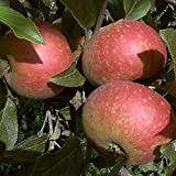 Ingrid Marie Apfel Apfelbaum Obstbaum 120-150 cm Herbstapfel Lagerapfel saftig