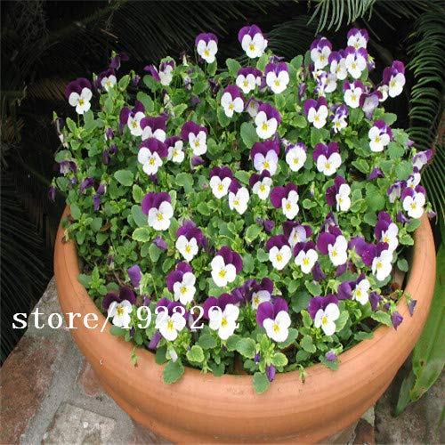 Bloom Green Co. 100 charming White Viola Tricolor Pansy Flower Seeds easy-to plant perennial bonsai potted DIY home& garden original packing A087: Yellow