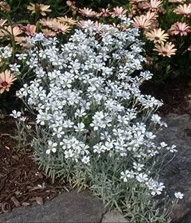 Helens Garden Cerastium Tomentosum Snow In Summer Yo Yo Flowers - 950+ Seeds