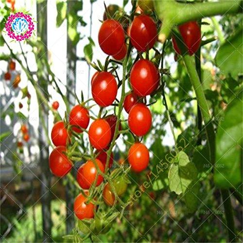 graines de tomate 200 arbres tomate graines végétales NO-OGM pour le jardin de la maison, la meilleure nutrition pour les enfants dîner aiment légumes