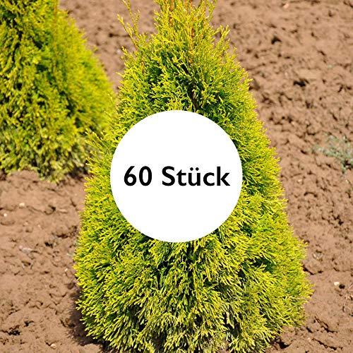 Pflanzen Kölle 60er-Set Heckenkonifere Thuja OCC. Golden Smaragd®, Höhe 40-60 cm, im 3 Liter Topf