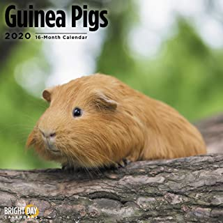2020 Guinea Pigs Calendar 16 Month 12 x 12 Wall Calendar by Bright Day Calendars