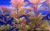 Biotope <span class='highlight'>Aquatic</span>s Ltd - 5 x RED CABOMBA Live tropical aquarium plant pink fern for <span class='highlight'>fish</span> tank cabomba piahyensis