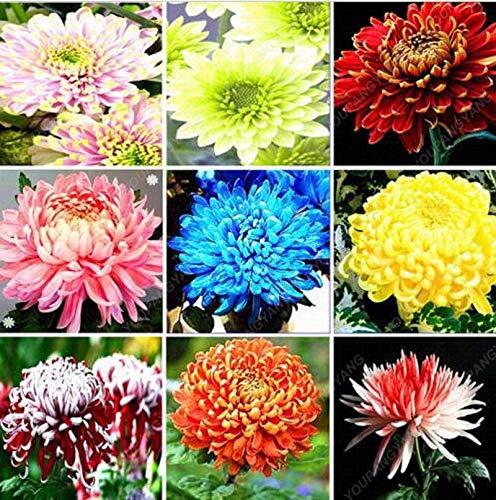 PLAT FIRM GERMINATIONSAMEN: 100Pcs bunte Chrysantheme Samen Seltene Blumensamen Garten Topfpflanzen